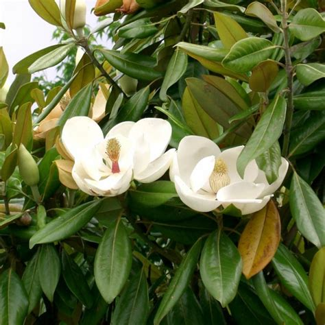magnolia evergreen varieties evergreen magnolia tree magnolias pinterest magnolia trees and evergreen