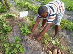 Culture De La Patate Douce : the return of the sweet potato can agricultural experts ~ Carolinahurricanesstore.com Idées de Décoration