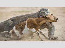 Rencontrez le Dragon de Komodo, ce redoutable prédateur