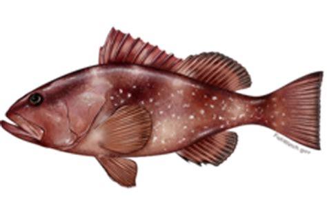 grouper fish gulf species mexico fishing teeth noaa fisheries throat regulations known