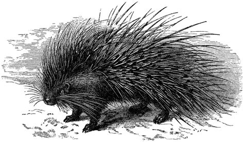 porcupine  long quills engraving  graphics fairy