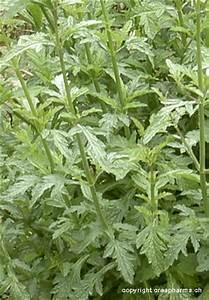 Verveine Plante Tisane : verveine officinale verbena officinalis creapharma ~ Mglfilm.com Idées de Décoration