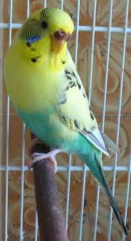 yellow parakeet yellow headed blue budgie parakeet budgie pinterest pets 2 and the beauty