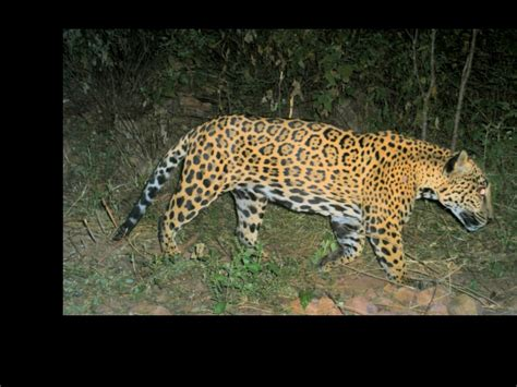 Jaguars Moving researchers study jaguar other wildlife in mexico