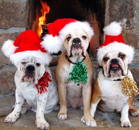 cute english bulldogs dressed  christmas  dogs