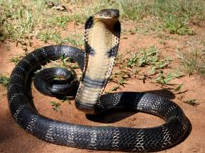 Carpet Python Interesting Facts file 12 the mystical king cobra and coffee forests jpg