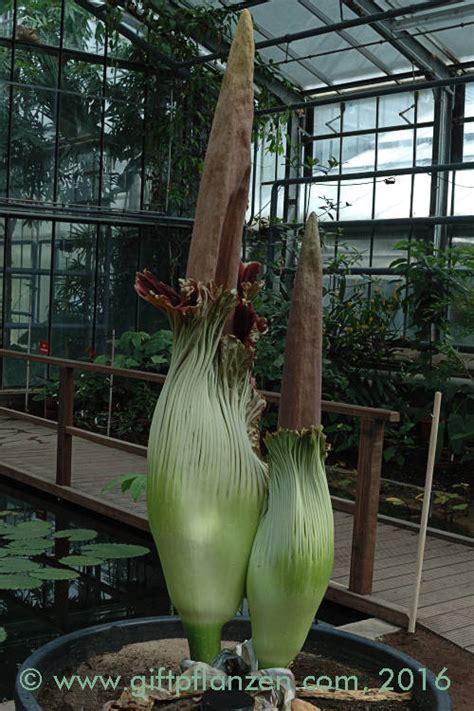 Botanischer Garten Bonn Amorphophallus by Titanenwurz Amorphophallus Titanum Im Giftpflanzen