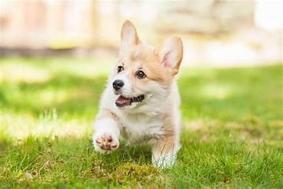 Puppy Dog Corgis Favorite Breed Corgi Dogs