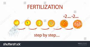 Illustration Process Fertilization Step By Step Stock ...