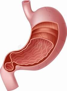 Cartoon Illustration Of Human Internal Stomach Anatomy