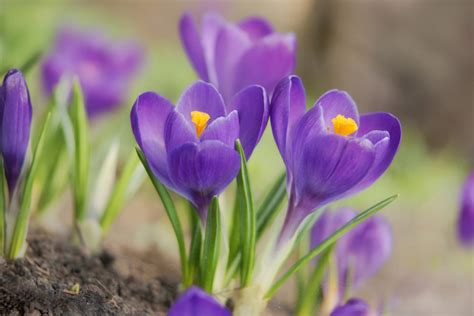 pictures of crocus crocus windrush valley school