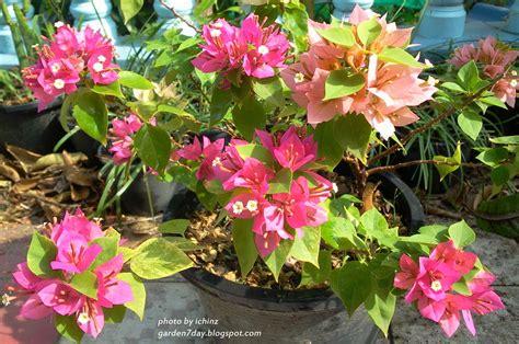 Garden7day Blog: เฟื่องฟ้าแคระ ในกระถางออกดอกสะพรั่งรับแสงแดด