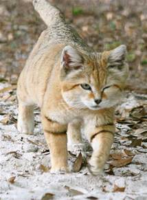 sand cats for suave sand cat big cats sand cat