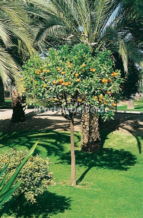 pianta fiori arancio arancio dolce citrus sinensis pianta di agrumi