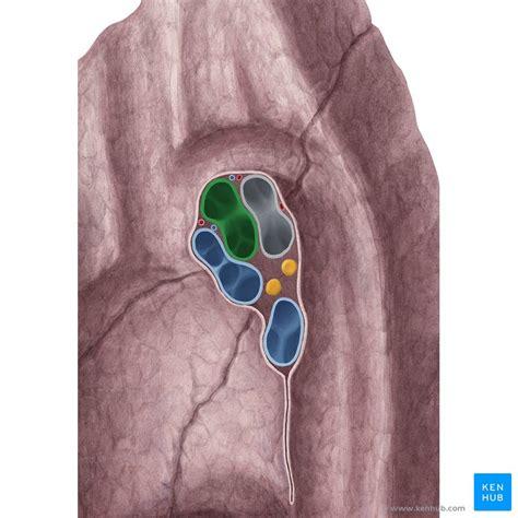 hilum   lung anatomy  clinical aspects kenhub