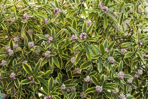 images of shrubs plants stunning daphne odora marianni fragrant evergreen variegated daphne shrub