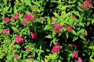 Neon Flash Spirea Shrubs  How To Grow This Pink Beauty