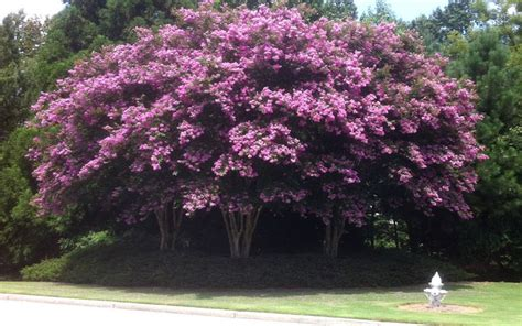 Crepe Myrtle Tree For Sale North Fort Myers