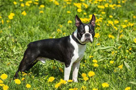 boston terrier breed information characteristics heath