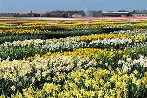 Blumenzwiebeln Richtig Setzen : narzissen pflanzen narzissen pflanzen biorhythmuskalender ~ Lizthompson.info Haus und Dekorationen