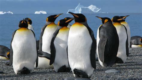 king penguins aptenodytes patagonicus ultra hd