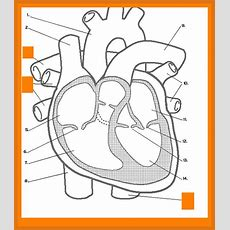 Heart Diagram Worksheet Homeschooldressagecom