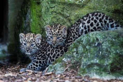adorable amur leopard cubs  named   zoo