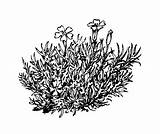 Silene Moss Coloring Pages Randy Acaulis Plant Template Flower Campion Wild Copyright Sketch sketch template