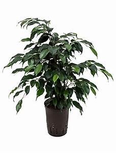 Hydrokultur Shop Online : im online shop k nnen sie g nstig zimmerpflanzen kaufen ~ Markanthonyermac.com Haus und Dekorationen