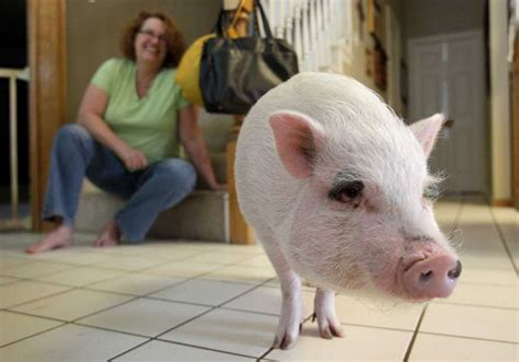 pot belly pig pet family s pot bellied pig can stay despite homeowner association s objections houston chronicle