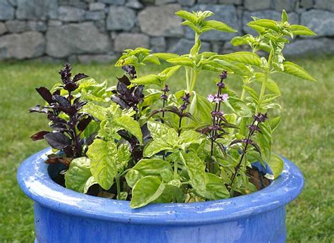 comment conserver le basilic en pot comment cultiver le basilic en jardini 232 re