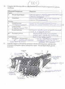 Answer Keys  Cell Membrane Worksheets