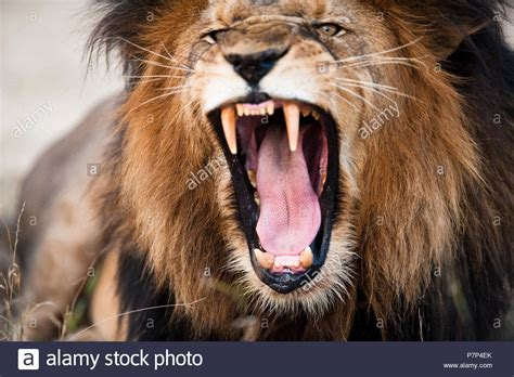 angry lion stock  angry lion stock images alamy