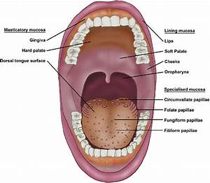 Oral Mucosa And Lingual Papillae  Keratinised Masticatory