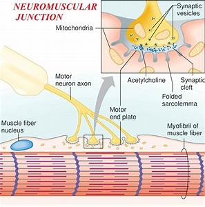 Neuromuscular Junction  Myoneural Junction