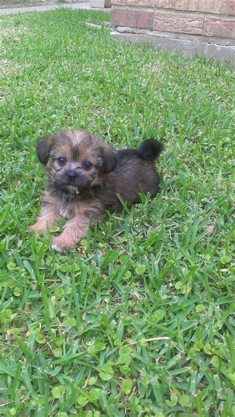 images  yorkie chihuahua mixed puppies