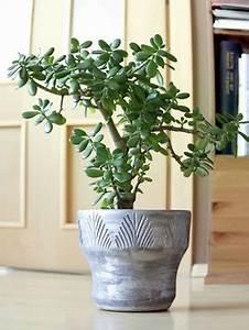 Bonsai Arten Für Anfänger : geldbaum pflege schneiden vermehren ~ Sanjose-hotels-ca.com Haus und Dekorationen