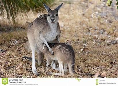 Kangaroo Joey Australia Standing Rain West Wet