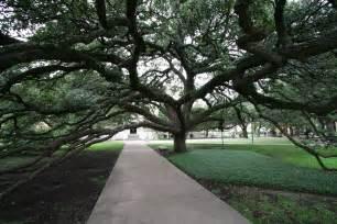 file century tree jpg wikimedia commons