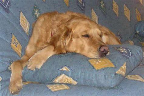pipi de chien sur canapé en tissu astuce pour enlever les poils de chien
