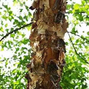 Branche De Bouleau : bouleau noir plantes et jardins ~ Melissatoandfro.com Idées de Décoration