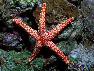 Wallpaper Fromia monilis, sea star, starfish, Indonesia ...