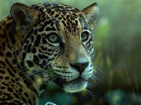 New Female Jaguar 1   Woodland Park Zoo's new female ...