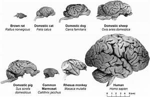 Gross Comparative Neuroanatomy Of Various Large Animal