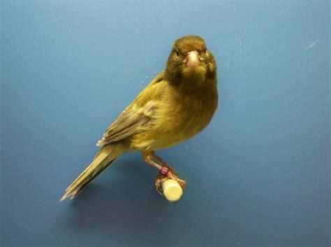 canary color canary bird colors