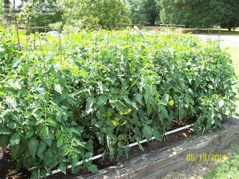Vertical Square Foot Gardening by Tomatoes Peppers Spacing For Tomatoes In A Square Foot