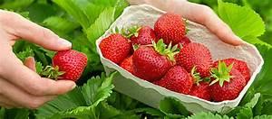 Erdbeeren Wann Pflanzen : erdbeeren verbraucherschutz bzfe ~ Watch28wear.com Haus und Dekorationen