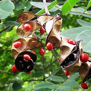 Buy adenanthera pavonina, red lucky seeds ( 1 kg ) - seeds ...