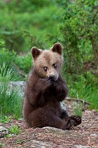 Brown Bear Cub, Suomussalmi - Finland - a photo on Flickriver
