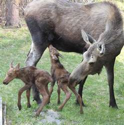 Anchorage Alaska Moose Animals